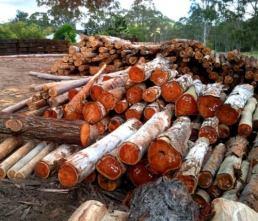 spotted gum timber sunshine coast raw wood